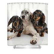 Blue Belton Setter And Dachshund Pups Shower Curtain