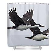 Blue-eyed Cormorant Phalacrocorax Shower Curtain