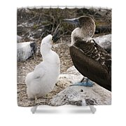 Blue-footed Booby Mother And Chick Shower Curtain