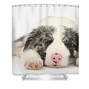 Blue Merle Border Collie Pup Shower Curtain