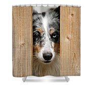 Blue Merle Sheltie Shower Curtain by Kati Molin