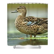 Blue-winged Teal Anas Discors Female Shower Curtain