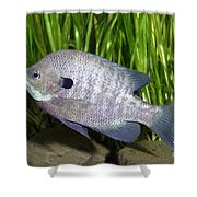 Bluegill Lepomis Macrochirus Shower Curtain