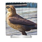 Boat Tail Grackle Shower Curtain