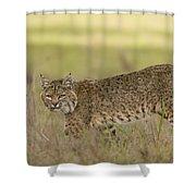 Bobcat Female Walking Santa Cruz Shower Curtain