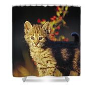 Bobcat Kitten Standing On Log North Shower Curtain by Tim Fitzharris