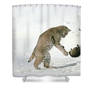 Bobcat Lynx Rufus Hunting Muskrat Shower Curtain