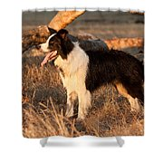 Border Collie At Sunset Shower Curtain