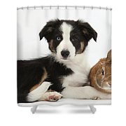 Border Collie Pup And Netherland-cross Shower Curtain