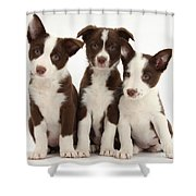 Border Collie Puppies Shower Curtain