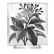 Botany: Cinnamon Tree Shower Curtain