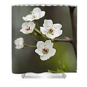 Bradford Callery Pear Tree Blossoms - Pyrus Calleryana Shower Curtain