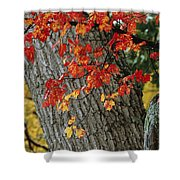 Bright Red Maple Leaves Against An Oak Shower Curtain