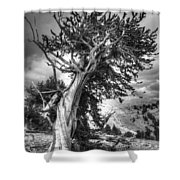 Bristlecone Patriarch  Shower Curtain