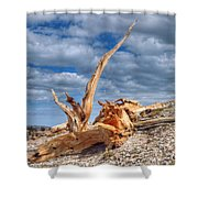 Bristlecone Pine In Repose Shower Curtain