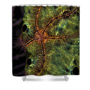 Brittle Star On Sponge, Belize Shower Curtain