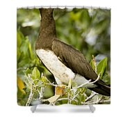 Brown Booby Sula Leucogaster Shower Curtain