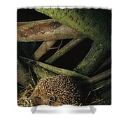 Brown-breasted Hedgehog Erinaceus Shower Curtain