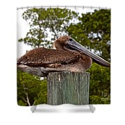 Brown Pelican At Rest Shower Curtain