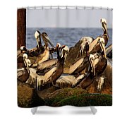 Brown Pelicans - Beauty Of Sand Island Shower Curtain