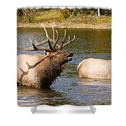 Bugling Bull Elk And 2 Female Cows In Estes Lake  Co Shower Curtain