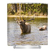 Bugling Bull Elk And Calf Colorado Rut 4 Shower Curtain