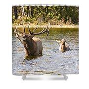 Bugling Bull Elk And Calf Colorado Rut 5 Shower Curtain