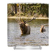Bugling Bull Elk And Calf Colorado Rut  Shower Curtain