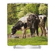 Bull And Cows Grazing On Grass In Farm Maine Shower Curtain