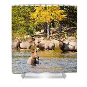 Bull Elk Watching Over Herd 4 Shower Curtain