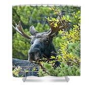 Bull Moose At Dusk Shower Curtain