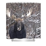 Bull Moose In Winter Shower Curtain