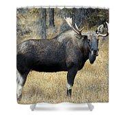 Bull Moose, Peter Lougheed Provincial Shower Curtain