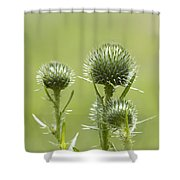 Bull Or Spear Thistle Buds- Cirsium Vulgare Shower Curtain