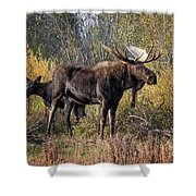 Bull Tolerates Calf Shower Curtain