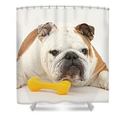 Bulldog With Plastic Chew Toy Shower Curtain