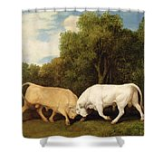 Bulls Fighting Shower Curtain
