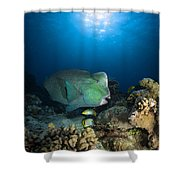 Bumphead Parrotfish, Australia Shower Curtain