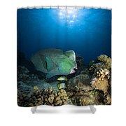 Bumphead Parrotfish, Australia Shower Curtain