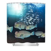Bumphead Parrotfish Shower Curtain