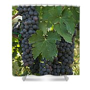Bunches Of Sangiovese Grapes Hang Shower Curtain
