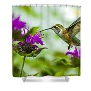 Calliope Hummingbird At Bee Balm Shower Curtain