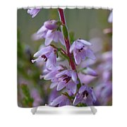 Calluna Vulgaris 4  Shower Curtain