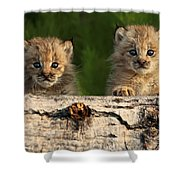 Canadian Lynx Kittens Looking Shower Curtain