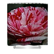 Candy Cane Rose Shower Curtain