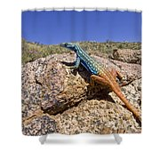 Cape Flat Lizard  South Africa Shower Curtain by Piotr Naskrecki