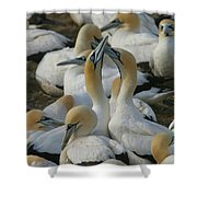 Cape Gannets Shower Curtain
