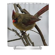 Cardinal Cold Winter Stare Shower Curtain
