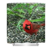 Cardinal In Springtime Shower Curtain