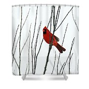 Cardinal In Willow  Shower Curtain